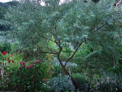 Mediterrane Bäume Winterhart : baumschule kern am bodensee mediterrane pflanzen ~ Frokenaadalensverden.com Haus und Dekorationen