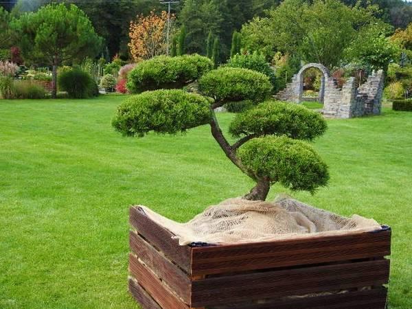 baumschule kern am bodensee spezialist f r echte japanische bonsais niwakis. Black Bedroom Furniture Sets. Home Design Ideas